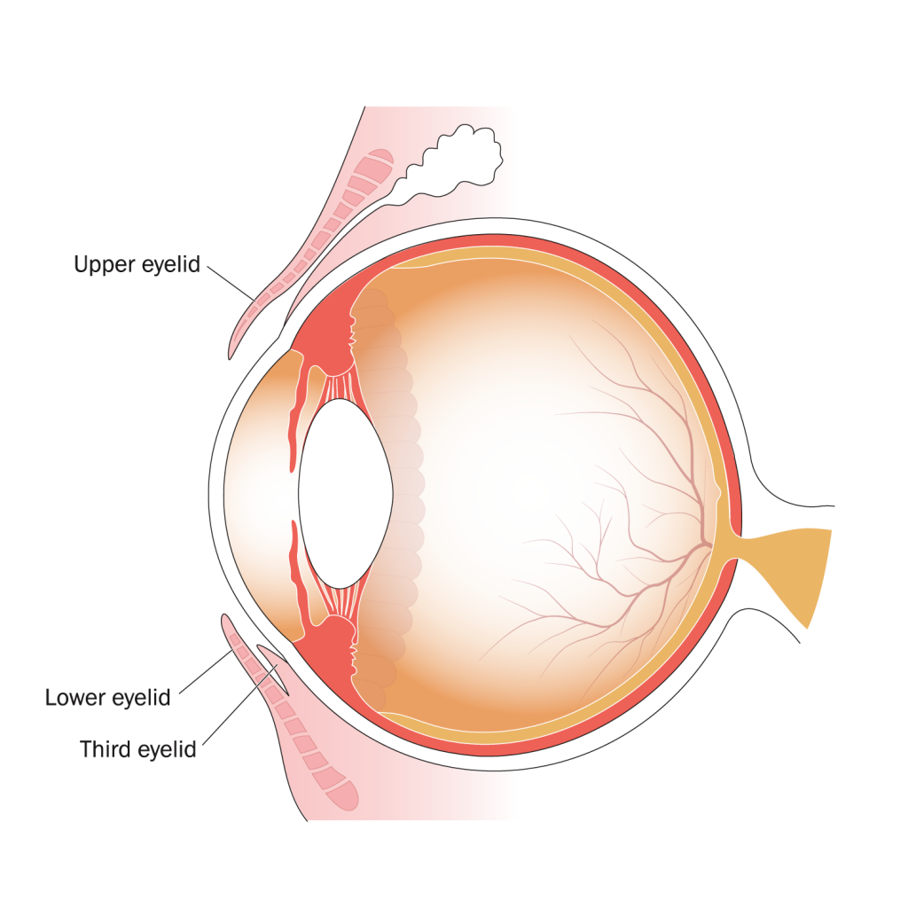 Illustration of parts of the eye, indicating position of the upper, lower, and third eyelids