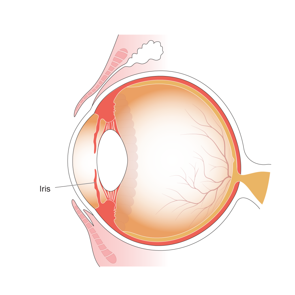Illustration of parts of the eye, indicating position of the iris