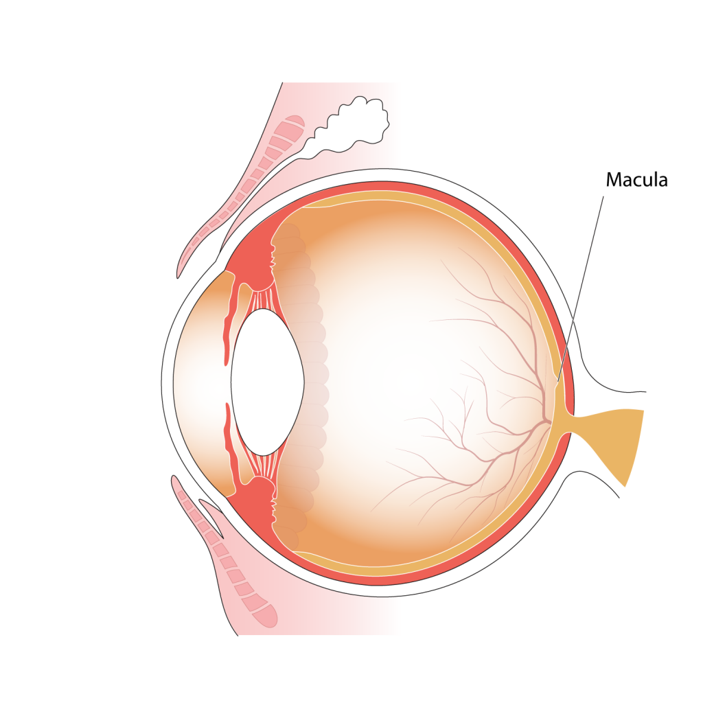 Illustration of parts of the eye, indicating position of the macula