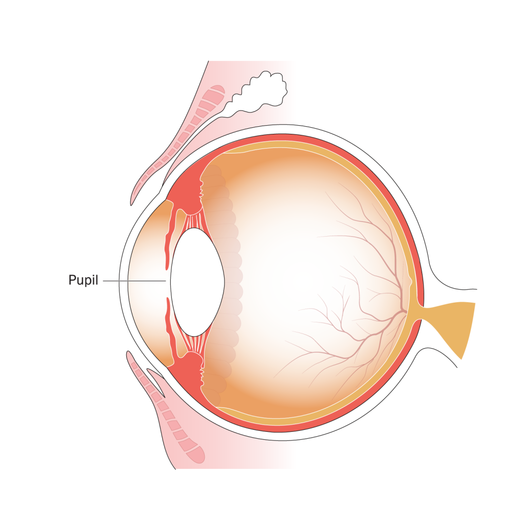 Illustration of parts of the eye, indicating position of the pupil